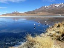 Flamencos en un lago en Bolivia Fotos de archivo