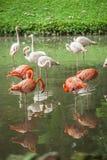 Flamencos en un parque zoológico malasio Fotografía de archivo libre de regalías