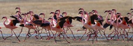 Flamencos grandes del grupo en el lago kenia África Nakuru National Park Reserva nacional de Bogoria del lago Foto de archivo