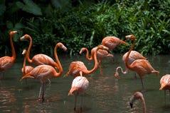 Flamencos, parque del pájaro de Jurong, Singapur Imágenes de archivo libres de regalías