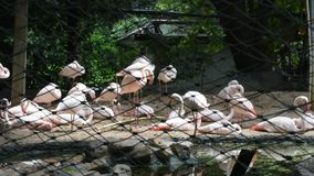 Flamencos o flamencos en jaula en el parque zoológico de Dusit o dinar de Khao en Bangkok, Tailandia almacen de metraje de vídeo