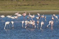 Flamencos que alimentan en un estuario del río Imagen de archivo libre de regalías