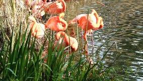 Flamencos que se atusan la colocación en agua con las cañas verdes almacen de video