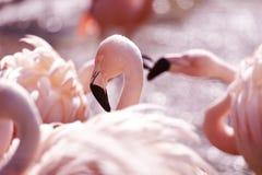 Flamencos rosados Fotos de archivo libres de regalías