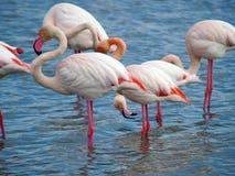 Flamencos rosados Imágenes de archivo libres de regalías