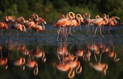 Flamencos rosados Fotografía de archivo