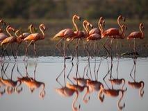Flamencos rosados Fotografía de archivo libre de regalías