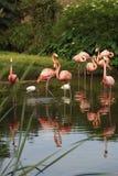 Flamencos rosados fotos de archivo
