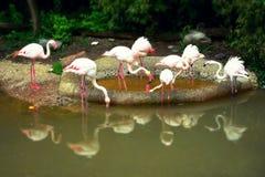 Flamencos rosados con la reflexión Fotos de archivo
