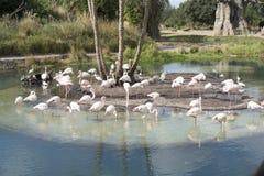 Flamencos rosados en Disney, parque del reino animal Foto de archivo libre de regalías