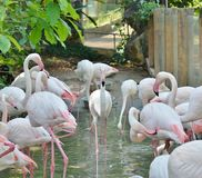 Flamencos rosados en el hábitat natural imagen de archivo libre de regalías