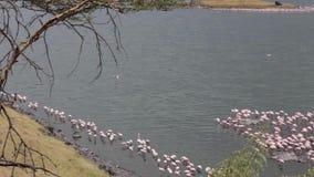 Flamencos rosados en el lago almacen de video