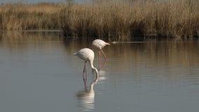 Flamencos rosados en el lago, phoenicopterus, pájaro rosáceo blanco hermoso en la charca, pájaros acuáticos en su ambiente, Camar almacen de metraje de vídeo