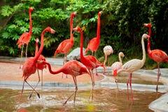 Flamencos rosados en el parque zoológico Fotografía de archivo libre de regalías