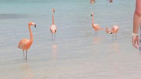 Flamencos rosados en la playa almacen de metraje de vídeo