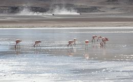 Flamencos rosados en Laguna Honda en ` profundo de la laguna del ` inglés en el reserva Eduardo Avaroa - Bolivia de Lipez Altipla fotos de archivo