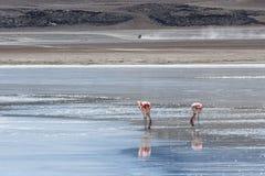 Flamencos rosados en Laguna Honda en ` profundo de la laguna del ` inglés en el reserva Eduardo Avaroa - Bolivia de Lipez Altipla fotos de archivo libres de regalías