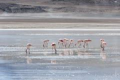 Flamencos rosados en Laguna Honda en ` profundo de la laguna del ` inglés en el reserva Eduardo Avaroa - Bolivia de Lipez Altipla fotografía de archivo
