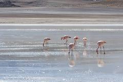 Flamencos rosados en Laguna Honda en ` profundo de la laguna del ` inglés en el reserva Eduardo Avaroa - Bolivia de Lipez Altipla foto de archivo libre de regalías