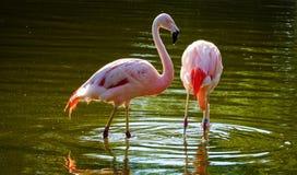 flamencos rosados en una charca de agua Foto de archivo libre de regalías
