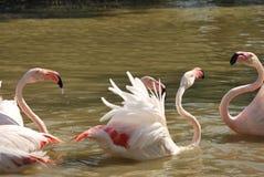 Flamencos rosados que se bañan y que se acoplan en Camargue Foto de archivo libre de regalías