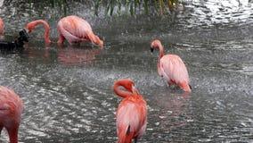 Flamencos rosados que toman una ducha fotos de archivo