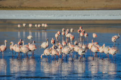 Flamencos in Sur Lipez, Bolivia Stock Photo