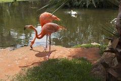 Flamencos y cisne rosados en el jardín tropical fotos de archivo libres de regalías