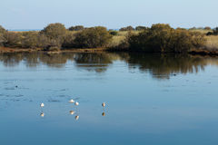 Flamencos y otros pájaros que se reclinan en agua Fotografía de archivo libre de regalías