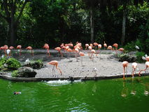 Flamengos в пруде Стоковая Фотография