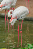 Flamengos bird wild life Royalty Free Stock Photography