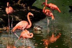 Flamengos dans un étang Images libres de droits