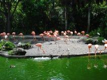 Flamengos em uma lagoa Fotografia de Stock