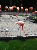 Flamengos em uma lagoa Imagens de Stock