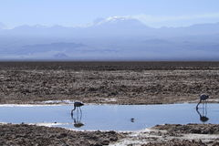 Free Flamengos In Flamenco Reserve In Salar De Atacama Stock Photos - 57668733