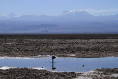 Free Flamengos In Flamenco Reserve In Salar De Atacama Stock Photography - 57668962