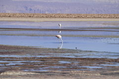 Free Flamengos In Flamenco Reserve In Salar De Atacama Royalty Free Stock Image - 57669186