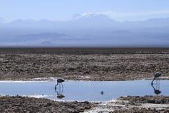 Flamengos w flamenco rezerwie w Salar De Atacama zdjęcia stock