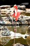 Flamengovogel Royalty-vrije Stock Afbeelding