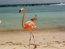 Flamengovogel Royalty-vrije Stock Foto