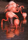 Flames - flamingos Royalty Free Stock Photography