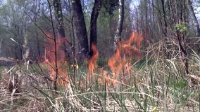 Flames in forest is cause of fire. Dry grass is possibility of suffering nature stock footage