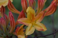 Flamin Hot Azalea. Orange and yellow flower petals on a Flaming hot Azalea flower bush stock photos