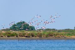 flamingów kierdla menchie Po rzeki laguna Zdjęcia Royalty Free