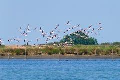 flamingów kierdla menchie Po rzeki laguna Zdjęcie Royalty Free