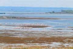 flamingów kierdla menchie Po rzeki laguna Zdjęcie Stock