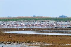 flamingów kierdla menchie Po rzeki laguna Obraz Royalty Free