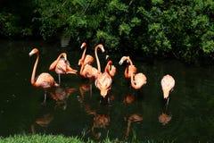 Flamingów kumpel Zdjęcia Royalty Free