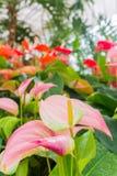 Flamingów kwiaty Zdjęcia Stock