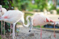 Flamingów Naturalni tła, Evening światło Zdjęcia Stock